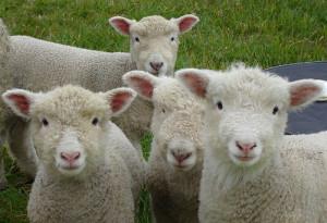 Чтобы овца не испугалась стрижки её нужно гладить по голове