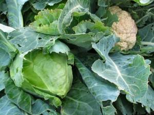 Почему не удаётся вырастить хороший урожай цветной капусты
