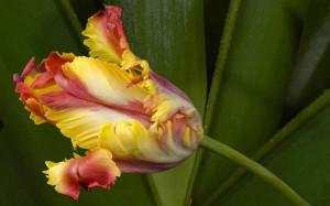 Пестрота лепестков тюльпана