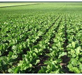 Выращивание кормовой свеклы:когда срезать ботву на корнеплодах?
