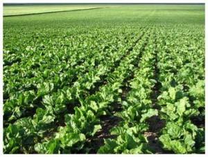 Выращивание кормовой свеклы