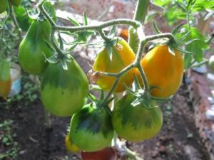 Почему первые томаты в Европе назвали золотыми