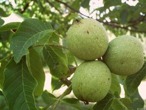 Основные вредители грецкого ореха?