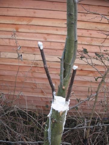 Прививки плодового дерева