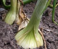 Как вырастить хороший урожай:защита растений от вредителей