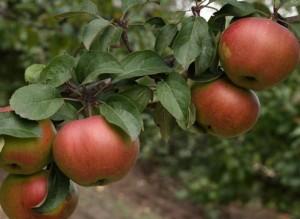 как заставить яблоню плодоносить ежегодно