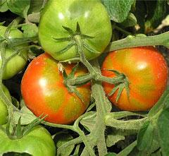 Каждый огородный сезон имеет свои особенности и отличия