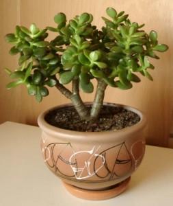 Денежное дерево вредителями и болезнями практически не поражается