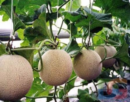 Как вырастить дыню в теплице