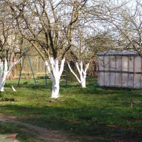 Как белить деревья  весной и осенью?
