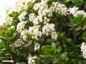 Денежное дерево:уход и размножение комнатного растения