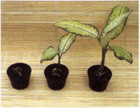 О размножении черенкованием