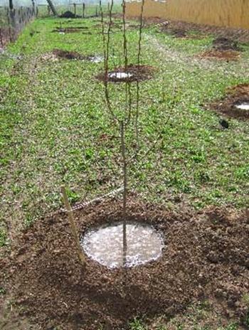 Как посадить плодовые деревья