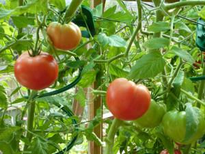 Основные требования к выращиванию помидор на открытом участке
