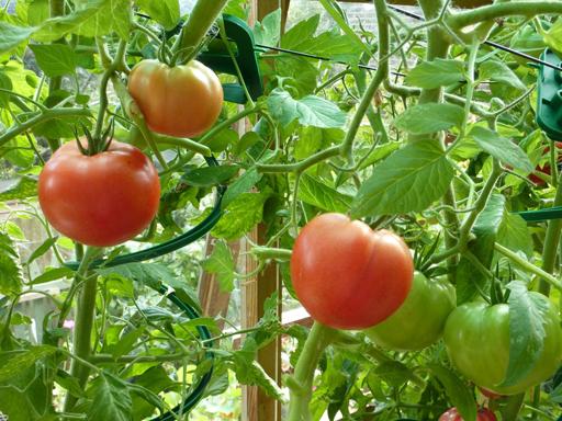 продаются помидоры огурцы: