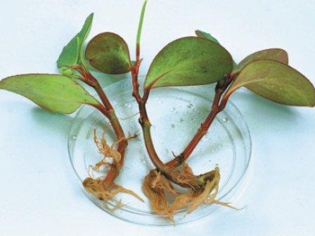 правилах черенкования растений