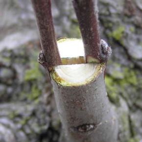 Что делать,чтобы прижилась прививка на плодовом дереве?