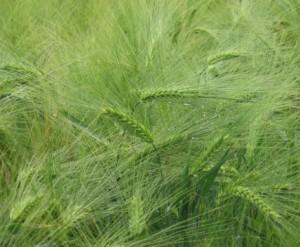 Как биомассу из ржи заделывать в почву