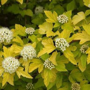 Цветущие кустарники в саду:декоративный сад круглый год