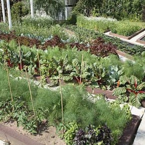 Главным орудием  на участке при органическом земледелии - плоскорез Фокина
