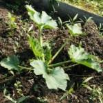 Какую роль играют сидераты в органическом земледелии?