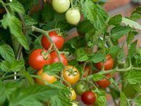 В жаркое теплое сухое лето помидоры вкуснее