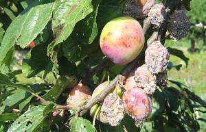 В чем заключается уход за плодовыми деревьями?