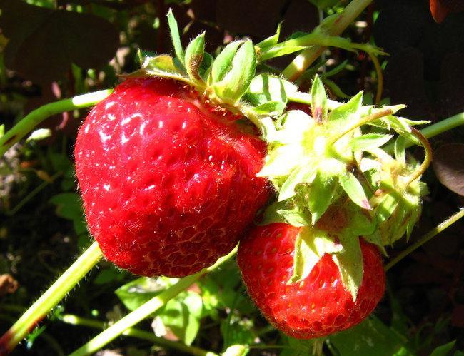 отличный урожай крупных , вкусных ягод.