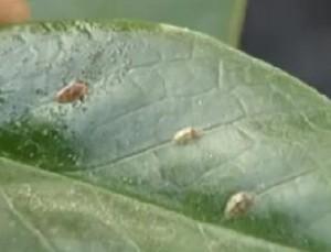 Как  вывести дождевых червей из цветочного горшка ?