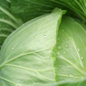 Как ухаживать за подросшей капустой?