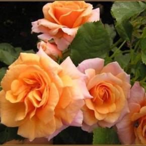 Розы хорошо цветут только на освещенном месте