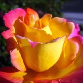 Выращивание роз:какой должна быть почва?