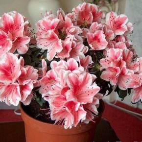 Азалия- хорошо цветущее зимой комнатное растение