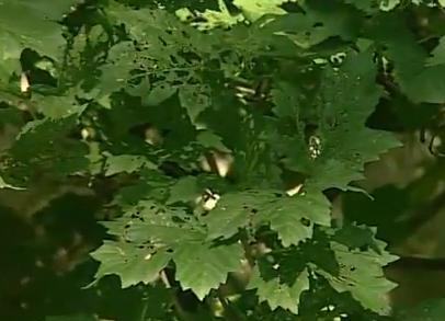 листья на калине