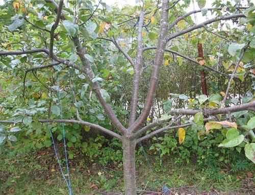 Особенности формирования кроны яблони