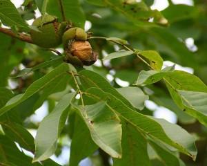 Выращивание ореха