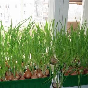 Как выращивать лук на подоконнике?