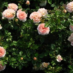 Как бороться с грибковыми заболеваниями роз летом?
