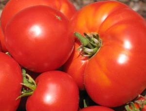 Как выбрать томаты  устойчивые к изменениям погодных условий