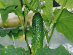 Как вырастить красивые и вкусные огурцы