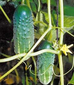Правильная подготовка почвы - залог хорошего урожая огурцов