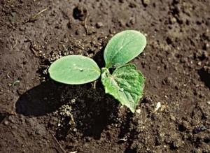 Посев огурцов проросшими семенами на теплые грядки