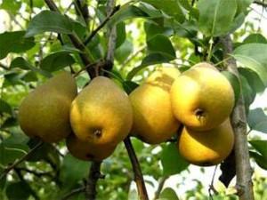 Хороший уход за плодовыми деревьями