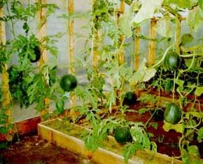 Как поливать арбузы в теплице?