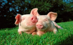 Как правильно устроить жильё для свинки