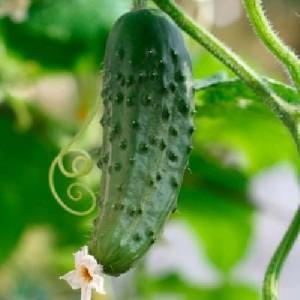 Лучше огурцы растут в условиях повышенной влажности