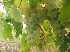 Как избавиться от серой гнили на винограде
