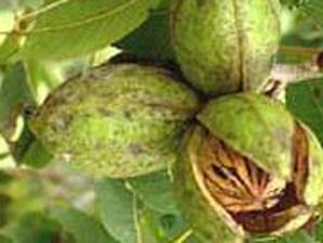 Как ежегодно получать хороший урожай орехов?