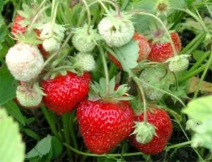 Как получить хороший урожай крупной клубники?