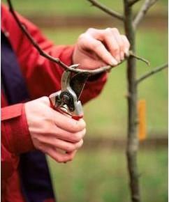 Для чего нужно формировать кроны плодовых деревьев?